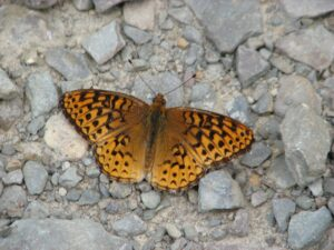 Orange butterfly resting on the dirt and rocks of Star Stanton Hill Rd