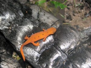 Orange eft resting on charred wood from a camp fire