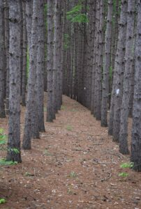 Row of red pine trees