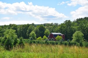 Christmas tree farm and barn