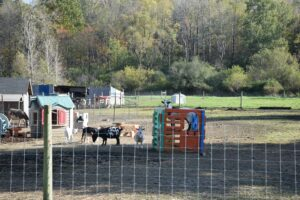 Goats and their toys along CR 15B