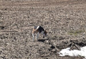 Farm dog sniffing through a field along Smith Rd
